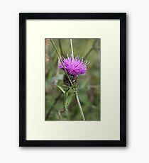 Greater Knapweed Framed Print