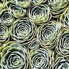 Succulents by ClaireWroe