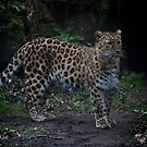 ...on the edge of extinction.. theAmur Leopard...   by John44