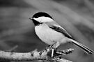 Chickadee in Black & White by Kathleen Daley