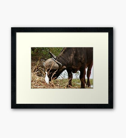 ANYTHING TO EAT? - The Buffalo - Syncerus caffer  Framed Print