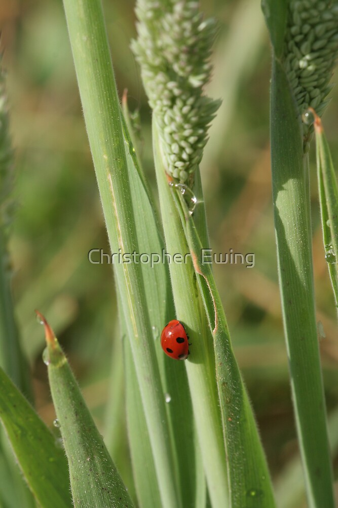 ladybug on a reed by Christopher  Ewing