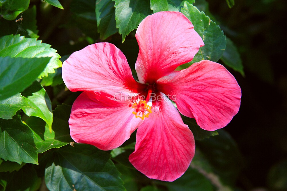 Hibiscus Flower by Cherie Betts