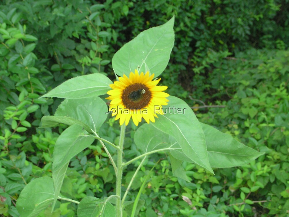 Sunflower with bee by Johanna  Rutter