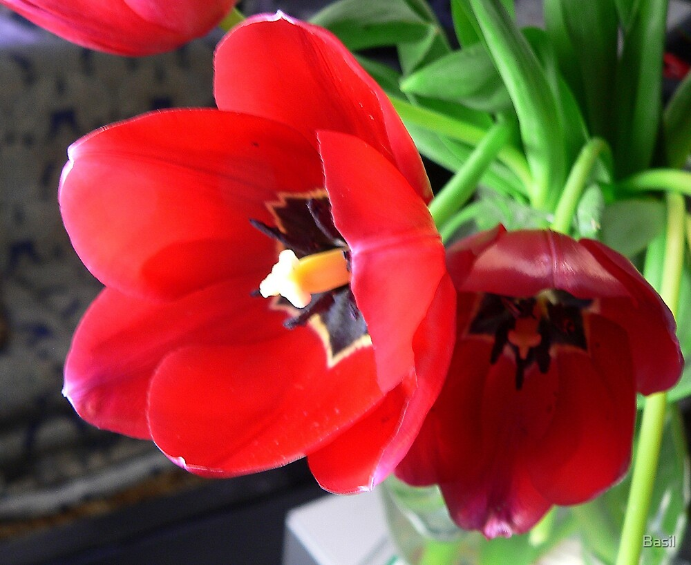 Tulip by Basil