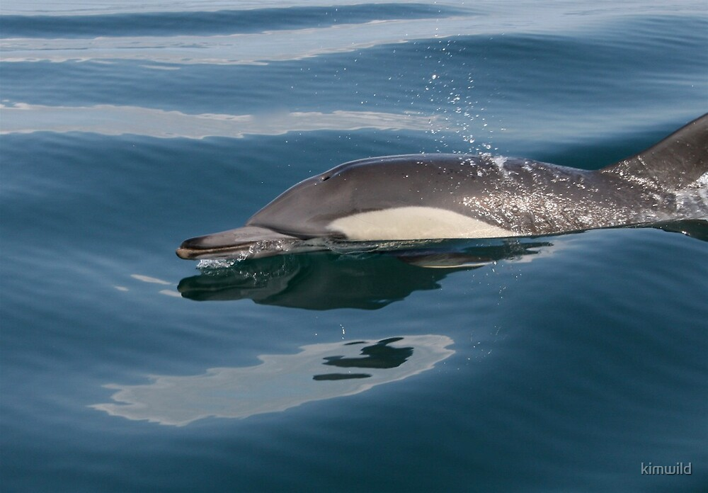 Calm Dolphin by kimwild