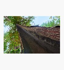 Resolute Redwood Photographic Print