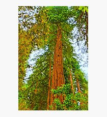 Coastal Redwoods Photographic Print