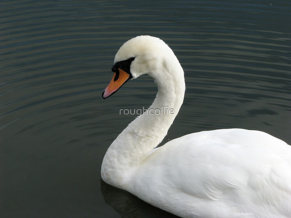 Beautiful Swan by roughcollie