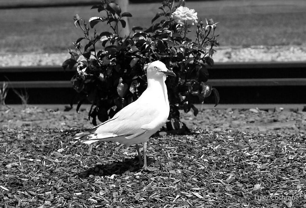 Seagull by Tyler Cochrane