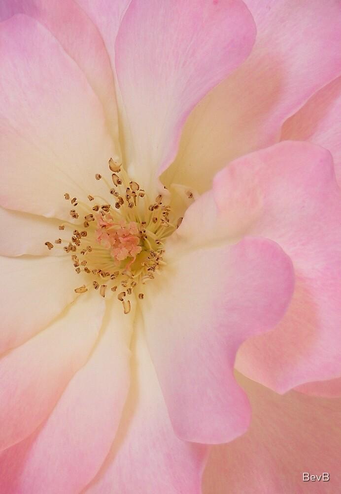 Rose by BevB