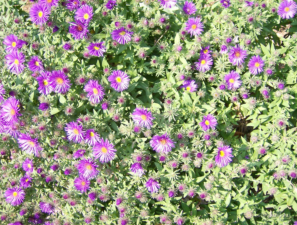 Purple Mums by steelwidow