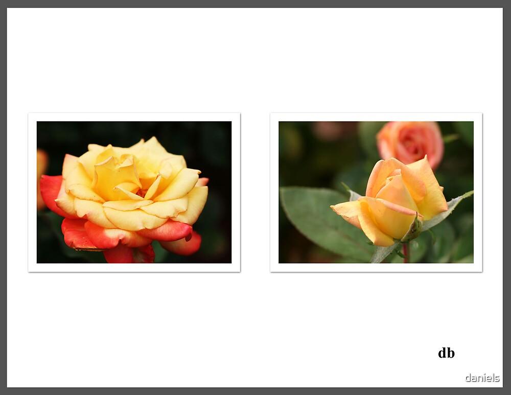 roses by daniels