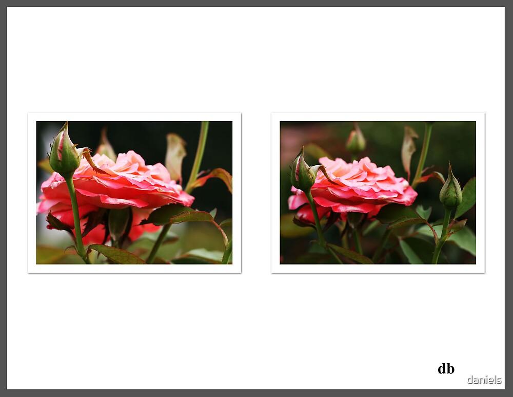 roses_2 by daniels