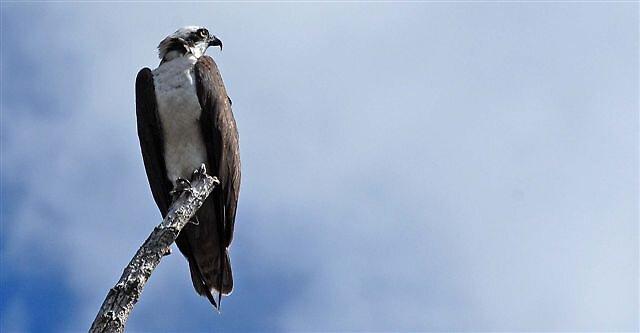 Osprey by raptrlvr