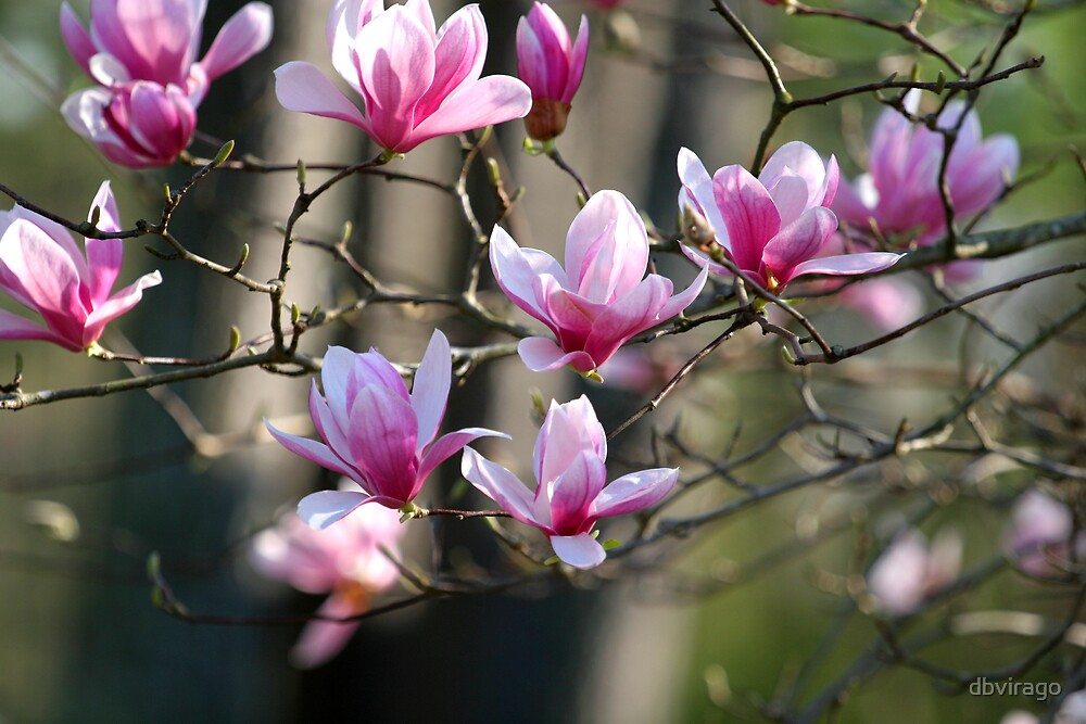 Japanese Magnolia by dbvirago
