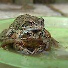 Mating toads by Rachesimages