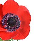Red Flower by Claudia Reitmeier