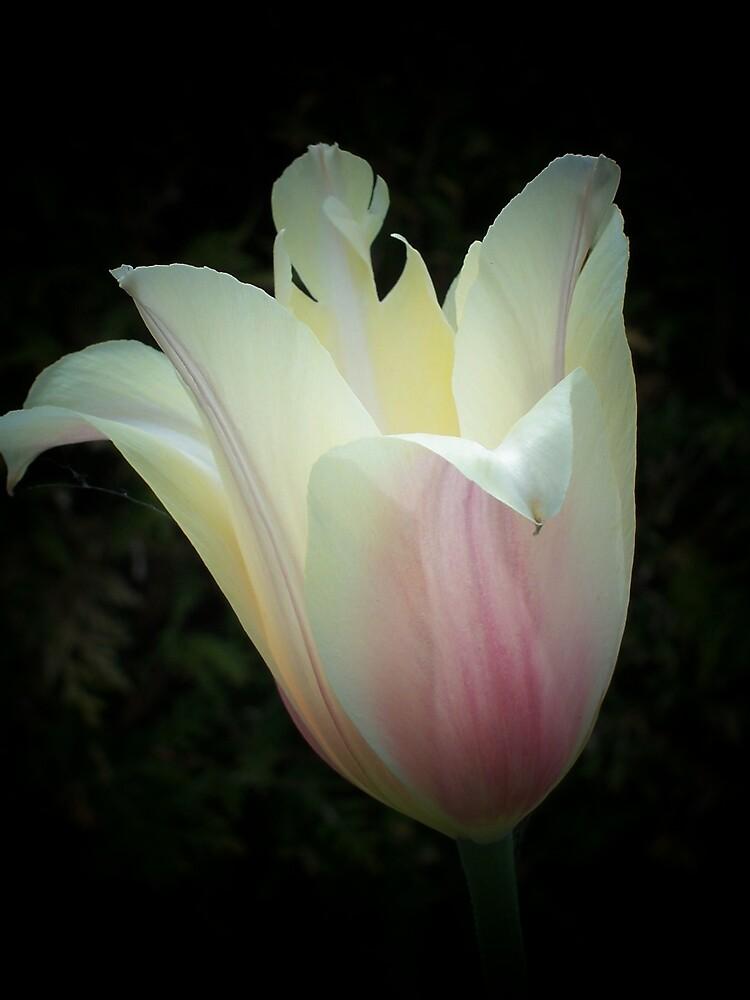 Tulip by Gene Cyr