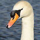 White swan close up. by britishphotos