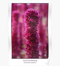 Amaranthus Caudatus Poster