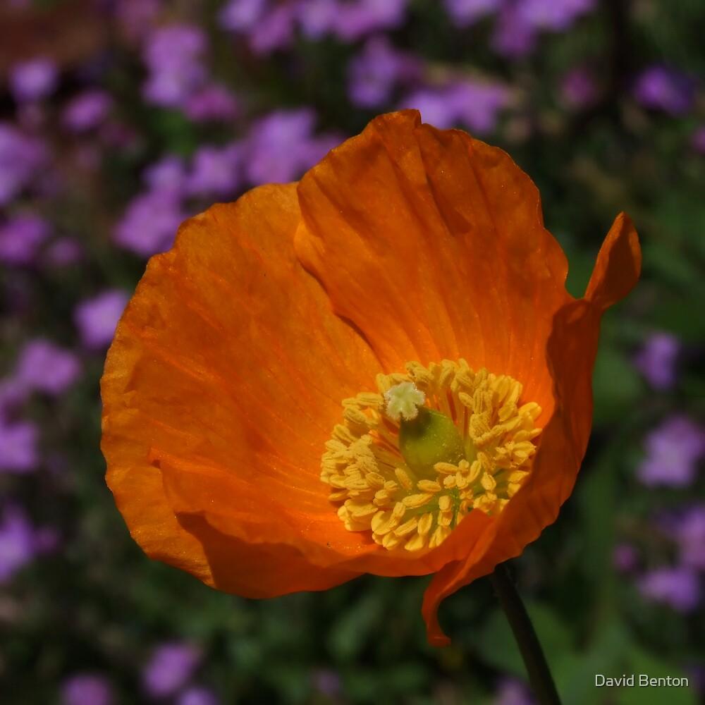 Orange Poppy by David Benton