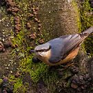 Nuthatch by M S Photography/Art