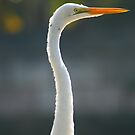 Great Egret by Colin Tobin