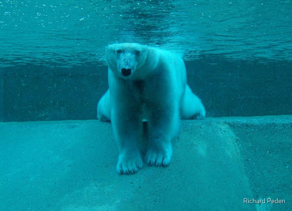 Polar Bear by Richard Peden