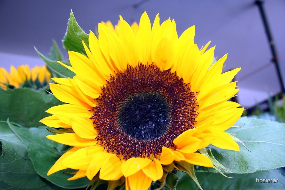 Sunflowers by hosierar