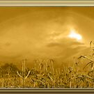 Somewhere In a Cornfield It`s Amber by Starr1949