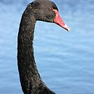 Close view of a black swan. by britishphotos