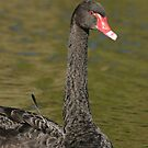 A Black Swan With Shiny Feathers. by britishphotos