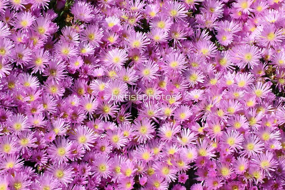 pink mesembryanthemum by britishphotos