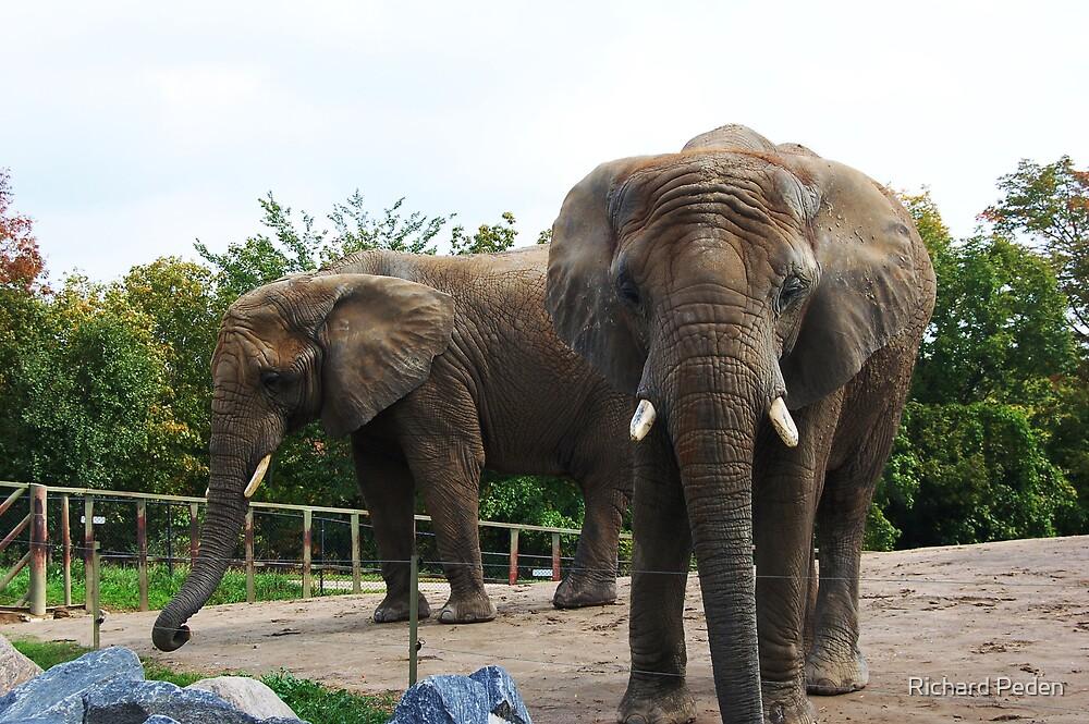 Elephants by Richard Peden