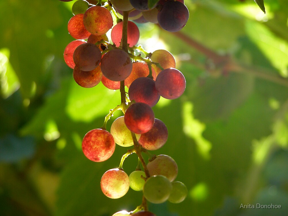 Grapes on the Vine by Anita Donohoe