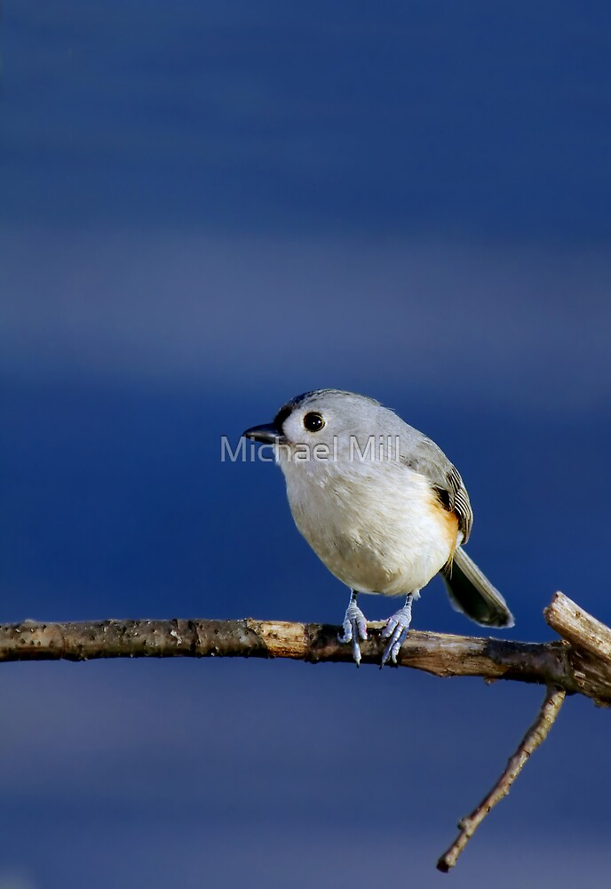Tufted Titmouse by Michael Mill