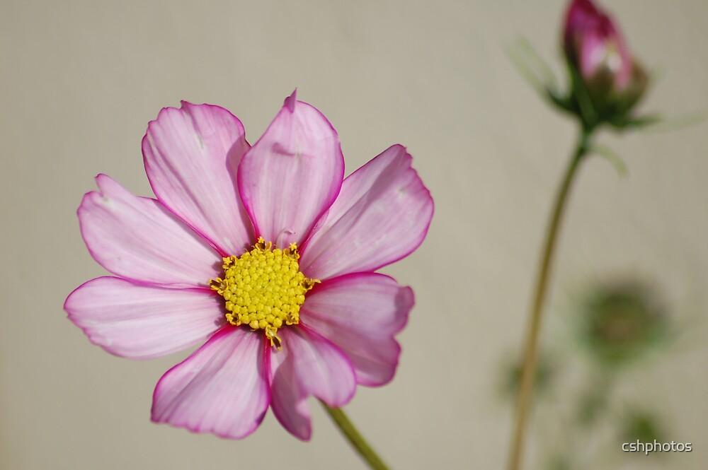 Pink Flower by cshphotos