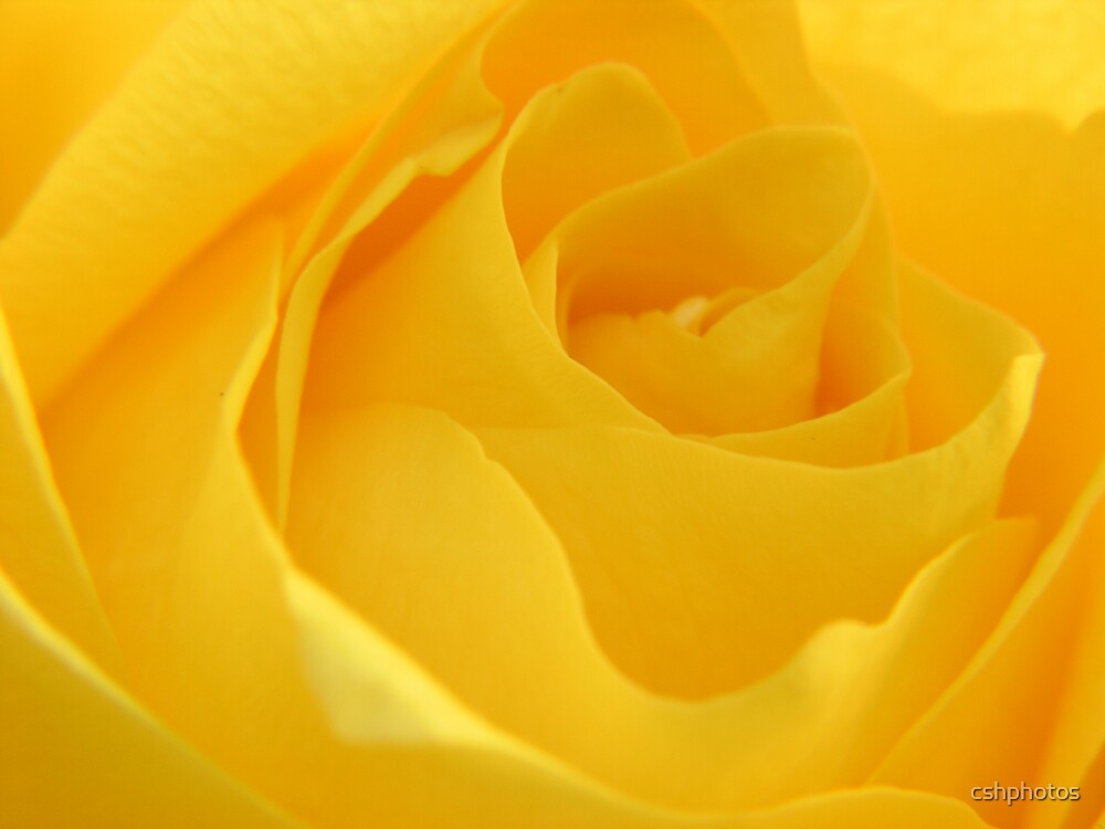 Yellow Rose by cshphotos