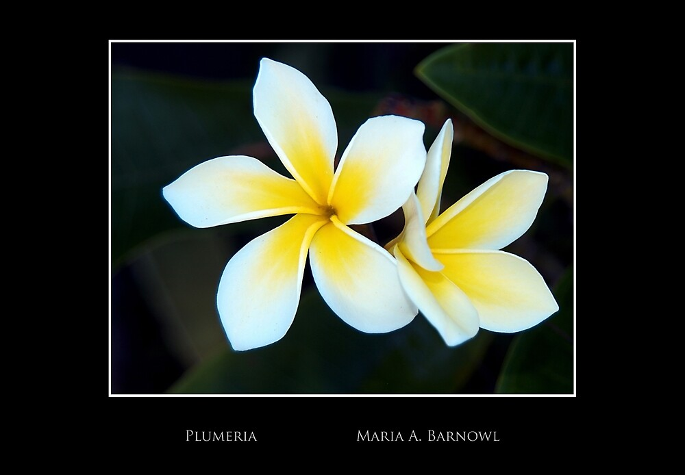 Plumeria - Cool Stuff by Maria A. Barnowl