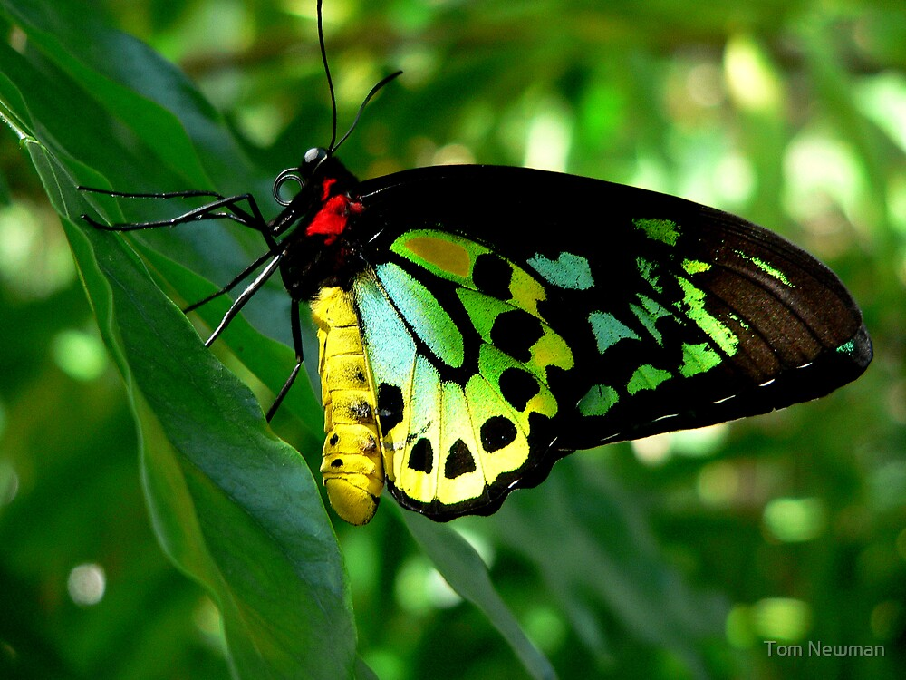 Cairns Birdwing Butterfly II by Tom Newman