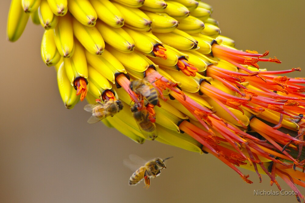 Bee in Flight by Nicholas Coote