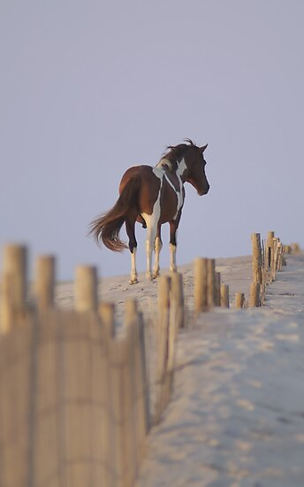 Wild Pony of Assateague Island by Michael Mill