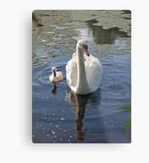 Magestic swans Metal Print