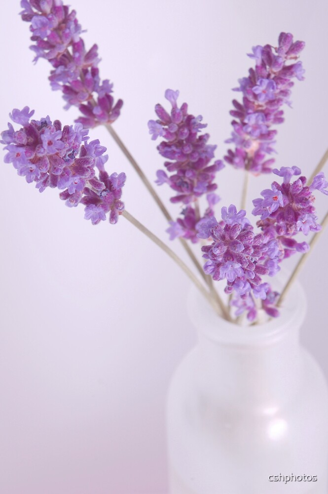 Simple Lavender by cshphotos