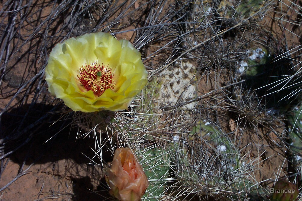 Cactus flower by Brandee