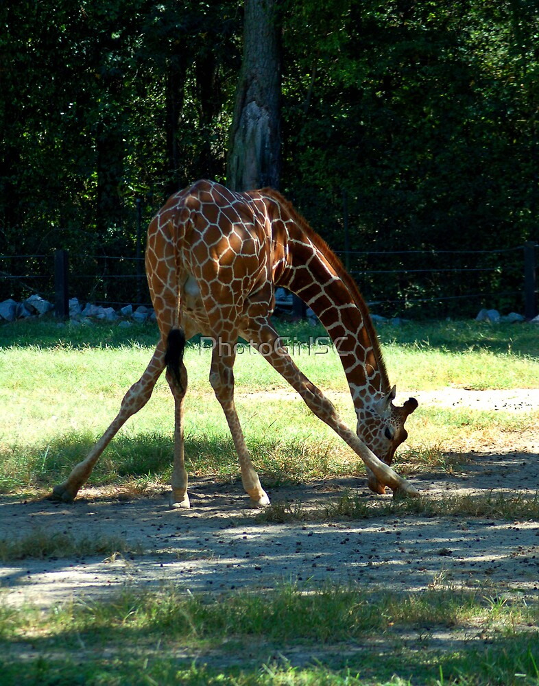 Giraffe by PhotoGirlSC