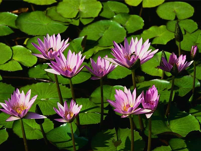 waterlilies by hammettt