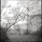 Catkin Fingers by Andy Freer