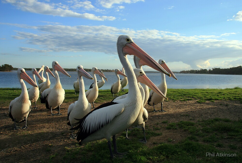 Pelicans by Phil Atkinson